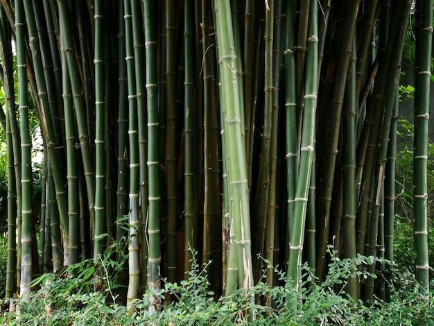 Bambusowe drzewo tło