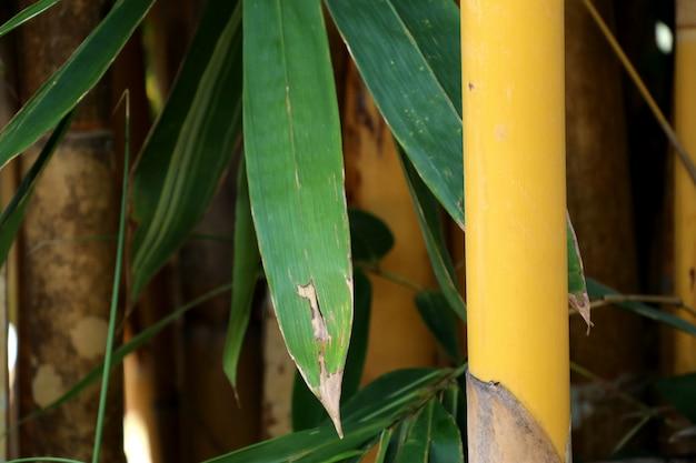 Bambusowe drzewo w tropikalnym