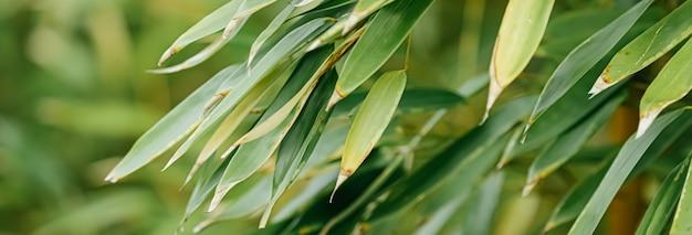 Bambusowe tło świeże liście na drzewie jako koncepcja ekologii przyrody i środowiska