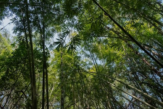 Bambusowego lasu zieleni niebo jaskrawego pogodnego popołudnia miękka ostrość