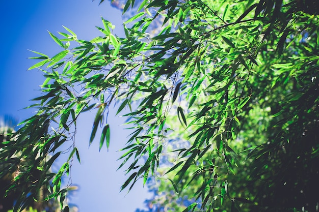 Bambusowy gaj, bambusowy las naturalny zielony