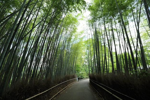 Bambusowy las, japoński bambus w kioto