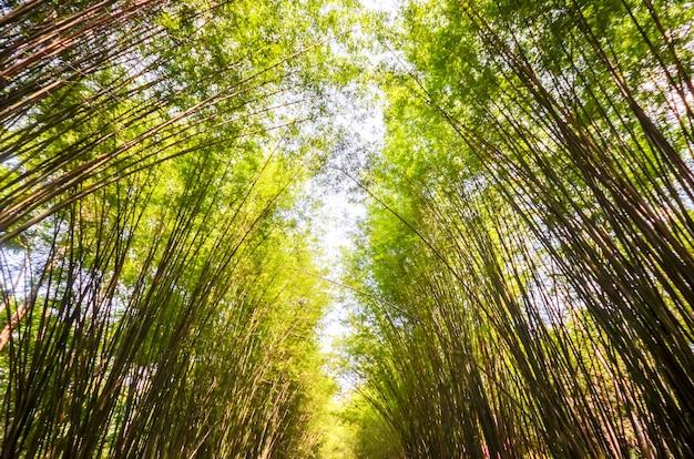 Bambusowy las w thailand