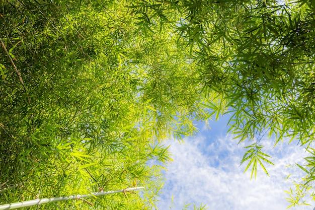 Bambusowy las z niebieskim tłem nieba