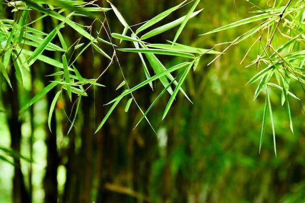Bambusowy liść w ranku