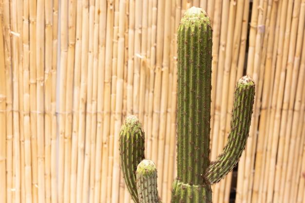 Bambusowy płot lub ściana tło z zielonym bluszczem. zdjęcie wysokiej jakości