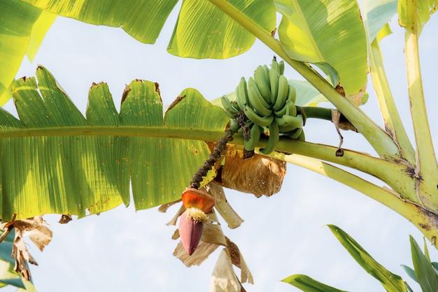 Banan na drzewie przy niebem.