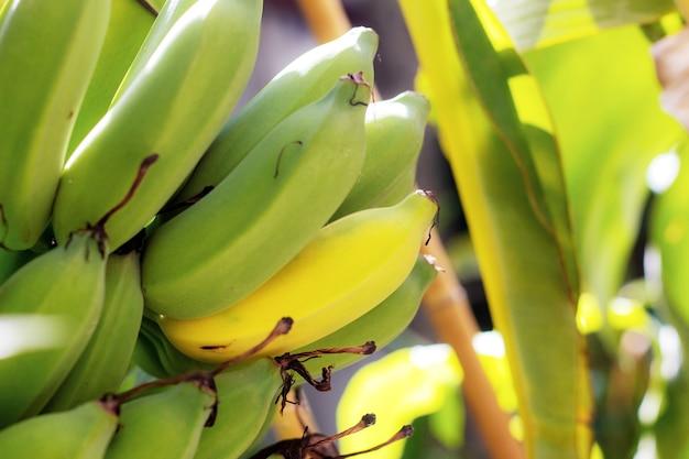Banan surowy i dojrzały w gospodarstwie rolnym.