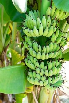 Bananowa owoc na drzewie i piękny zielony jaskrawy.