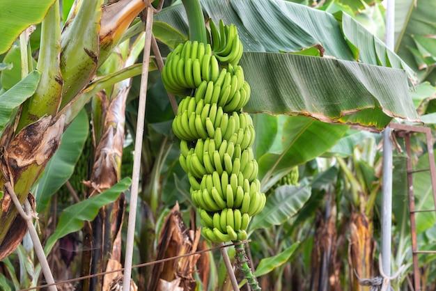 Bananowa wiązka przy bananową plantacją