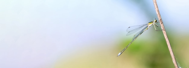 Baner piękna zielona ważka z dużymi oczami siedzi na suchej gałęzi dla tekstu