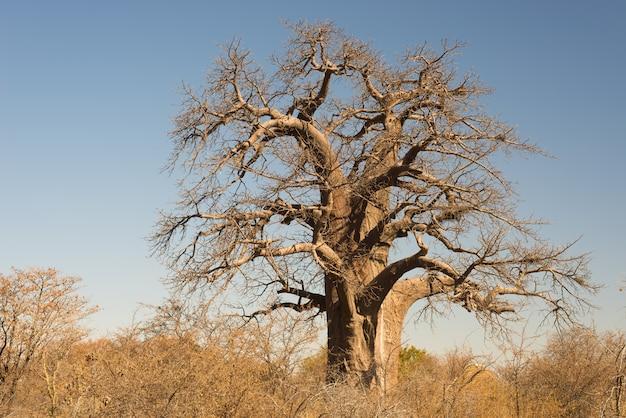 Baobab roślina w afrykańskiej sawannie z jasnym niebieskim niebem. botswana