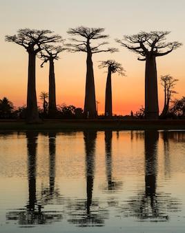 Baobaby o wschodzie słońca w pobliżu wody z odbiciem na madagaskarze