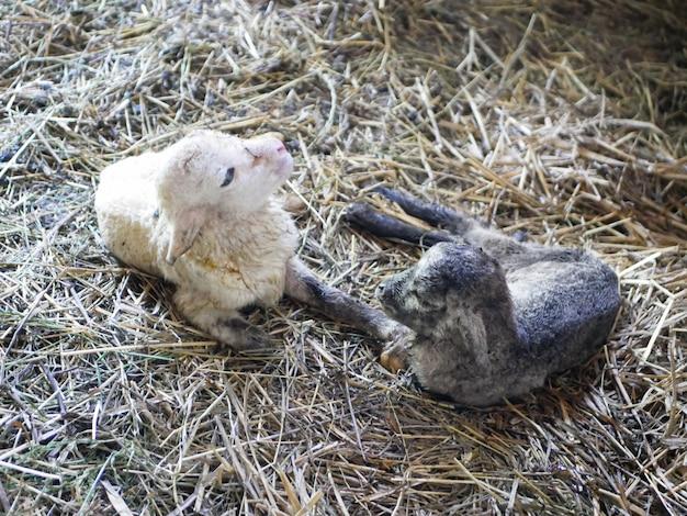 Baranek nie może stać po urodzeniu