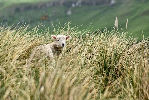 Baranki skacze wśród trawy w nowa zelandia.