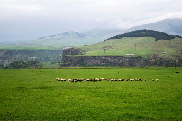 Barany na zielonym polu w ciągu dnia