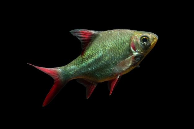 Barbonymus schwanenfeldii lub ryba kaviat na białym tle na czarnym tle