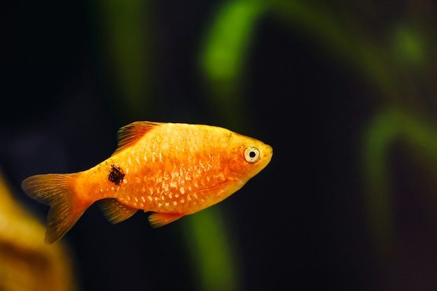 Barbus unosi się w akwarium domowym z bliska. piękna złota rybka akwariowa.