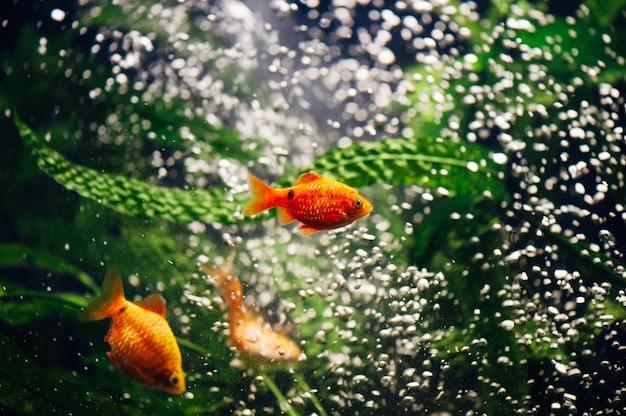Barbus w akwarium. złota rybka. bąbelki wirować.