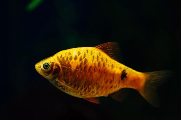 Barbus złotą rybkę w ciemnym akwarium. żółty. pomarańczowy.