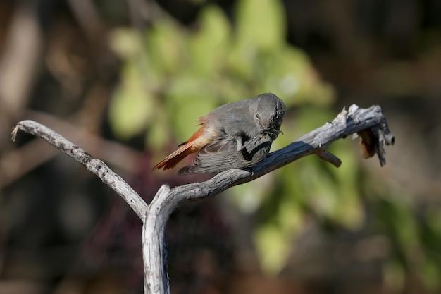 Bardzo bliska strzał z czarnej pleszka (phoenicurus ochruros) w upierzeniu zimowym na gałęzi i na ziemi w pobliżu miski do picia.