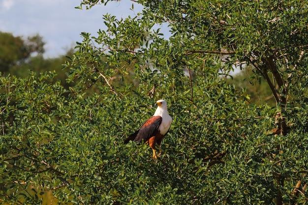 Bardzo duży rybak orzeł na drzewie. serengeti, tanzania