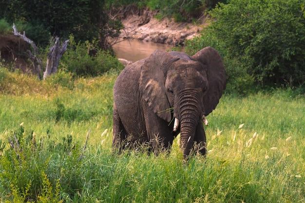 Bardzo duży słoń na zielonej sawannie. tarangire, tanzania