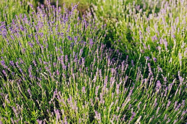 Bardzo ładny widok na pola lawendy. pachnące pola kwitnące lawendą w niekończących się rzędach. region prowansji we francji.