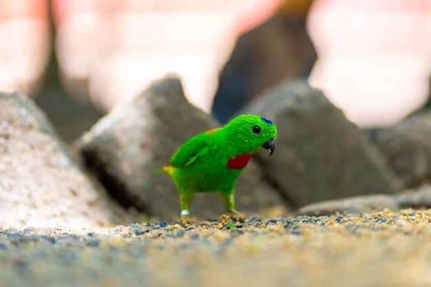 Bardzo mała i urocza jasnozielona papuga loriculus galgulus lub niebieska papuga korona, gryzący pokarm.