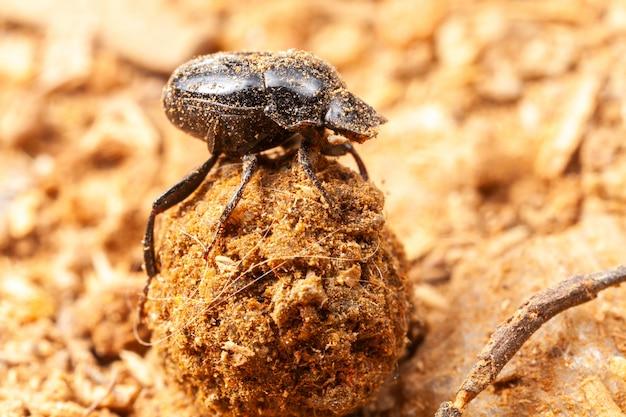 Bardzo mały chrząszcz skarabeusz - scarabaeidae - pluskwa koprofagowa na naturze