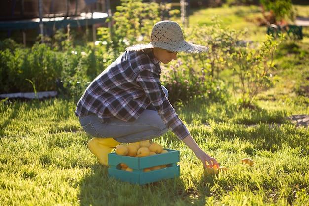 Bardzo młoda kobieta ogrodnik w kapeluszu zbiera cytryny w koszu w swoim ogródku warzywnym w słoneczny letni dzień. koncepcja ogrodnictwa i rolnictwa