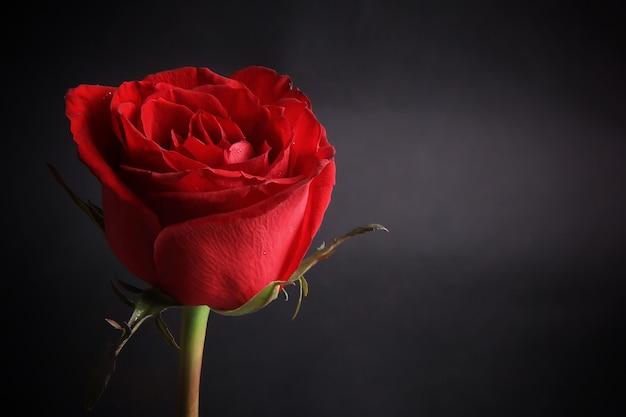 Bardzo piękna czerwona róża