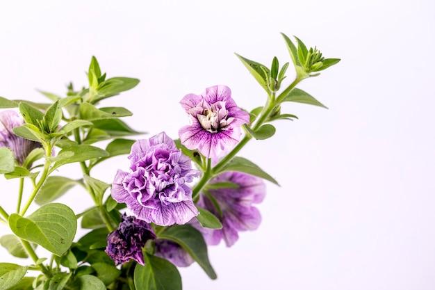 Bardzo piękne fioletowe kwiaty petunii kwitły na białym tle.