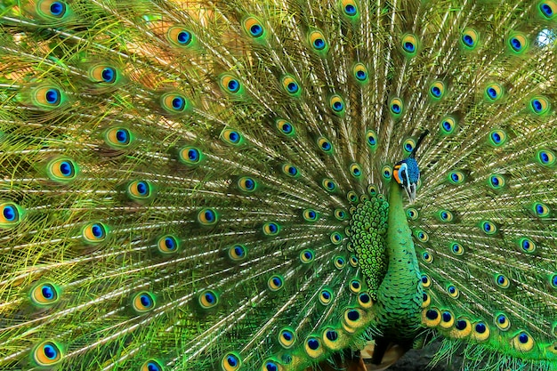 Bardzo piękny zielony paw