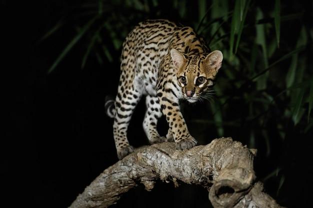 Bardzo rzadki ocelot w nocy brazylijskiej dżungli