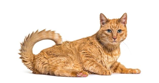 Bardzo stary rudy kot z plamami soczewicowatymi na hałasie i ustach