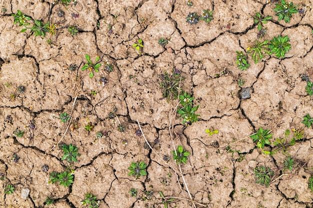 Bardzo sucha gleba i dużo chwastów na niej