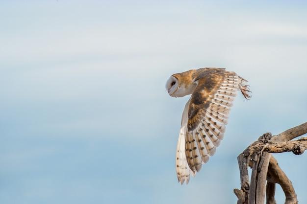 Barn owl startuje z cluster of tree branch