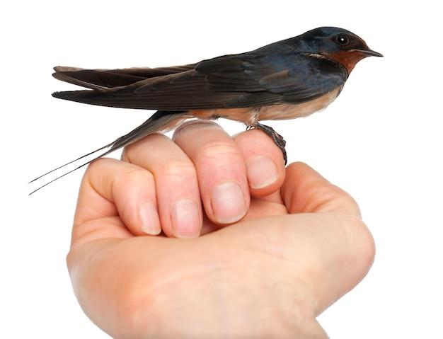 Barn swallow, hirundo rustica, przysiadła na tle białej przestrzeni