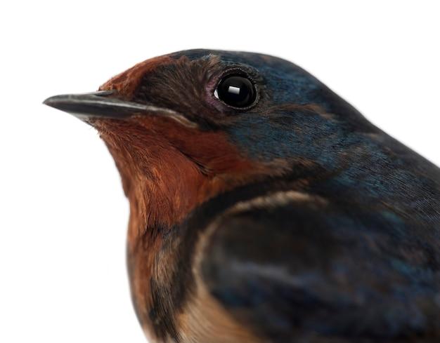 Barn swallow, hirundo rustica, z bliska na białej powierzchni