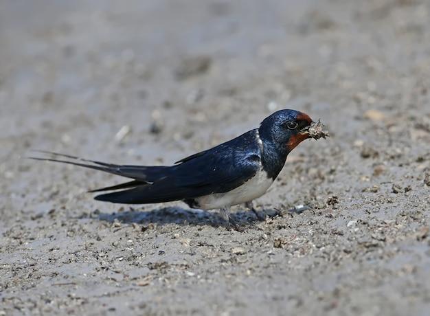 Barn swallow zbiera na brzegu rzeki materiał do budowy przyszłego gniazda.