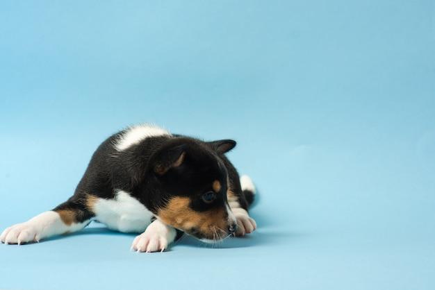 Basenji trójkolorowy szczeniak leżał na podłodze