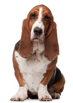 Basset hound, 2 lata, siedzący
