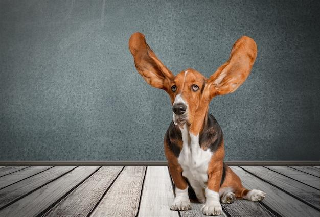 Basset hound pies na drewnianej podłodze