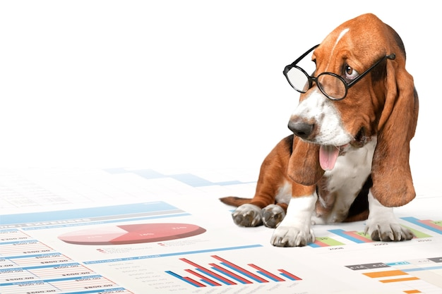 Basset hound pies w okularach i wykres biznesu na tle