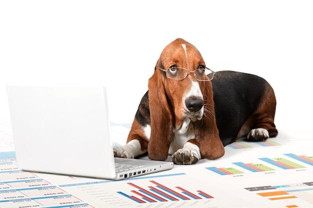 Basset hound pies z laptopem leżący w studio