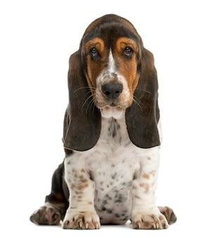Basset hound siedzący przed białą ścianą