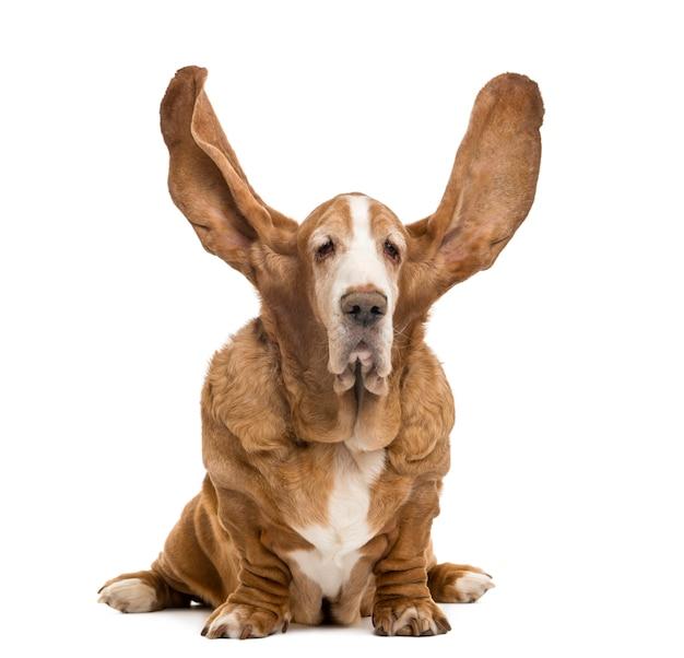 Basset hound siedzi z uszami w górę odosobnionego na bielu
