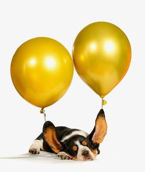 Basset hound szczeniak z latającymi uszami.