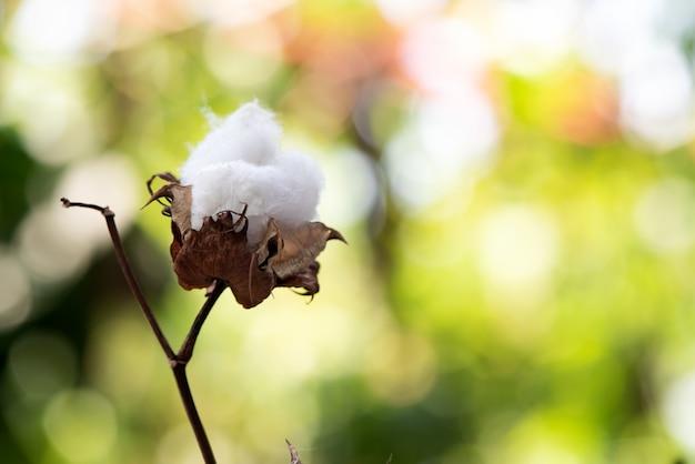 Bawełna lub gossypium hirsutum na naturze.
